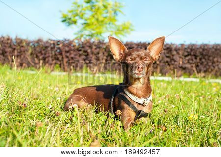 Small brown toy-terrier dozing on green grass in summer park with closed eyes. Multicolored outdoors horizontal image.