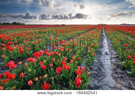 sunshine over red tulips field in Netherlands