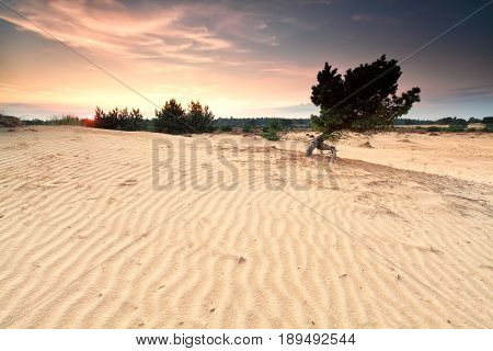 pine tree on sand textured dune at susnet