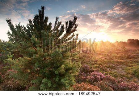 beautiful gold misty sunrise behind pine tree