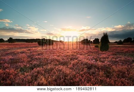 sunset over flowering heather meadows in Germany