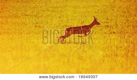Animal background beautiful roe-deer running. With copyspace