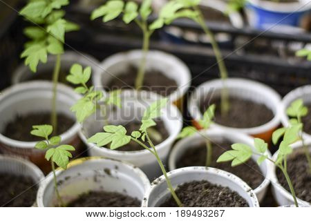 Seedlings Of Tomato Vegetables In Glasses. Preparation For Transplantation In The Greenhouse. Growin