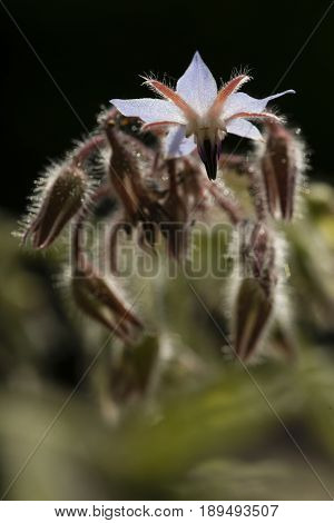 Flowers and buds of starflower Borage Borago officinalis herb.