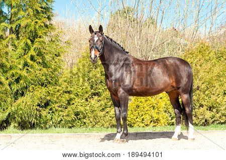 Purebred standing stallion. Exterior image with side view. Summertime outdoors.