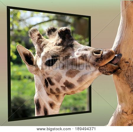 giraffe eating bast of a tree in out of bounds effect