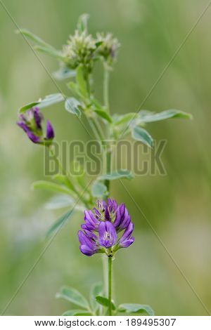 Lucerne (Medicago sativa subsp. Sativa) in flower. Purple flowers in raceme on plant cultivated as alfalfa growing wild as an escape in the UK