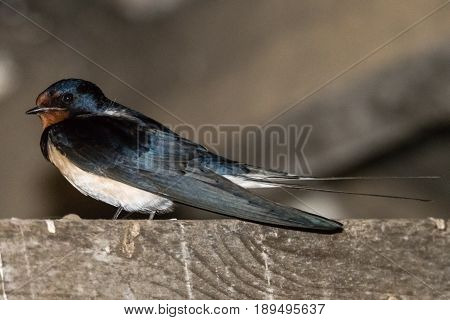 Swallow (Hirundo rustica) in profile. Bird in the family Hirundinidae perched on wooden beam in stable