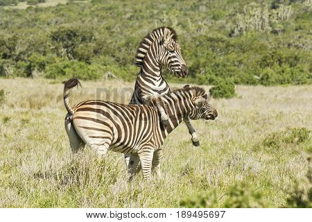 two beautiful zebras jumping and playing in the hot african sun