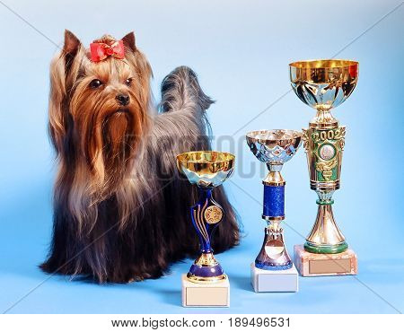 Yorkshire terrier dog, standing on a white and blue background with dog show trophies.