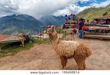Cusco, Peru- March 14, 2017: Alpaca (Vicugna pacos) in Cusco Peru