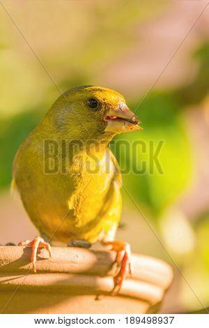 Portrait Of European Greenfinch Bird
