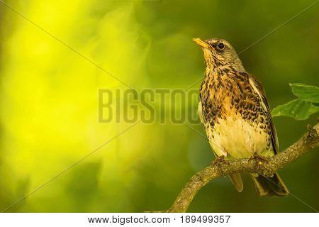 Single Thrush Bird Sits On Branch