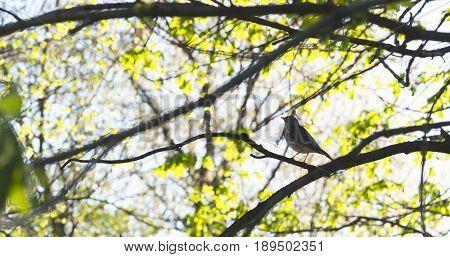 thrush bird on tree in spring sunny day, wide photo