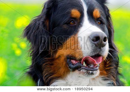 Bernese Mountain Dog portrait in flowers scenery