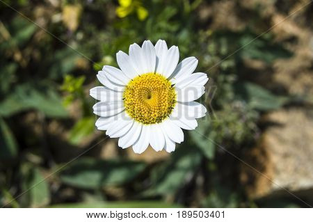 White and yellow daisies that grow in natural environment, daisies with daisy flowers-do not like fal look,