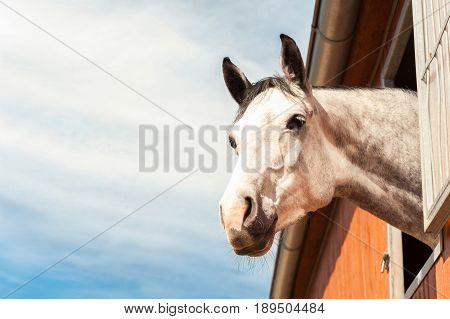 Portrait of thoroughbred gray horse in stable window on a blue sky background. Multicolored summertime horizontal outdoors filtered image.