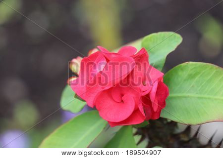 red flower Thorn of christ euphorbia nature green colored spiked