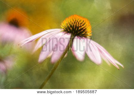 Pink flowers of echinacea on a beautiful background with texture.