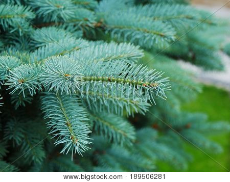 Blue spruce branches and needles closeup (Picea pungens)