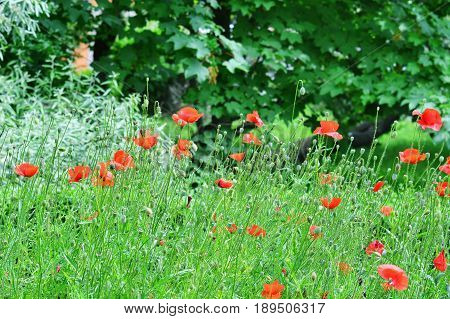 Red poppy field, corn poppies - Papaver rhoeas