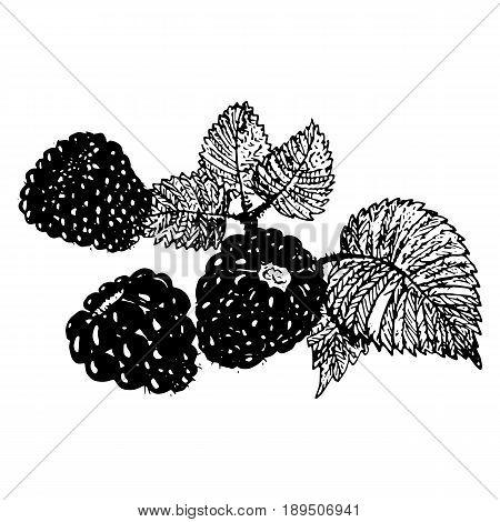 Ink blackberries raspberries hand drawn vector illustration realistic sketch
