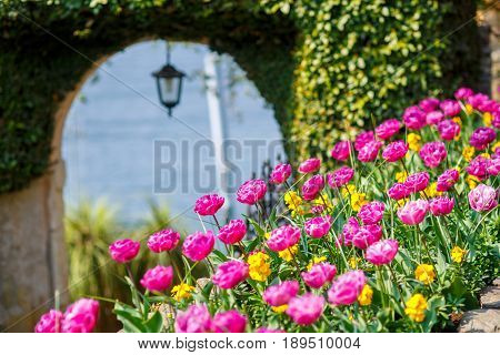 Juicy fresh tulips grow in a flowerbed on a background of ivy-twined arch leading to the lake