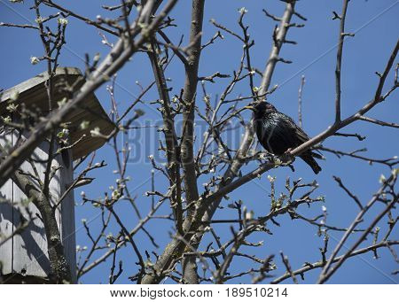 The starling sits on the apple tree by the birdhouse.
