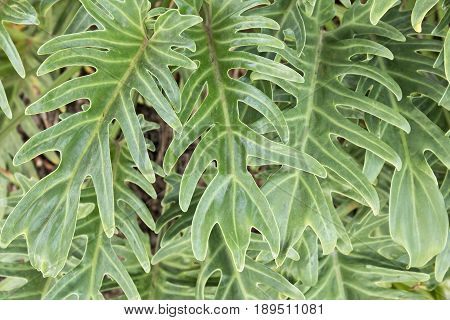 Nature background made from leaves of a tropical plant