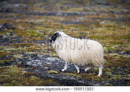 White Woolly Icelandic Sheep in Iceland, Europe.