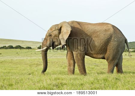 huge african elephant standing in thick grass in the soft sunlight