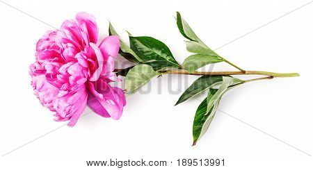 Pink peony flower with stem and leaves. Single object isolated on white background clipping path included. Summer garden flowers