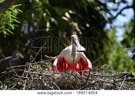 Roseate Spoonbill keeping her eggs out of the sun.