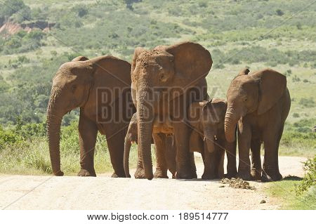 Family of elephants walking a long a dusty road in a reserve