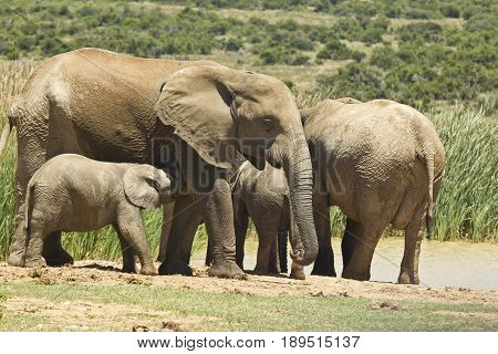 Family of elephants standing at a water hole waiting to have a drink
