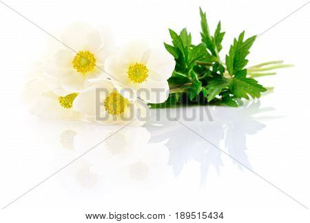Five white flowers on a white background