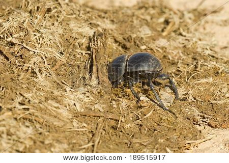 Dung beetle digging down into some fresh elephant droppings