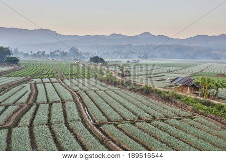 Shallots field with mountain background, in Thailand