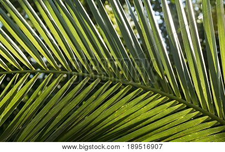 Large palm leaf backlit in the soft morning sun