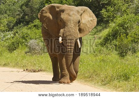 African elephant walking along a dusty road on a sunny day