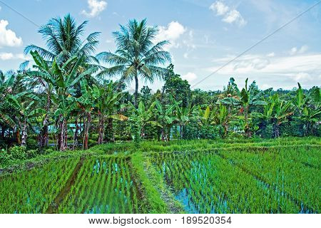 Rice fields, Senaru, Lombok, Indonesia, Southeast Asia, Asia