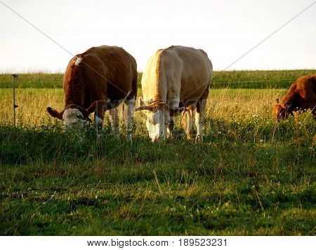 Cattle on Pasture, Cows, Farm, Agriculture, Animal, Herd, Pasture, Pet,