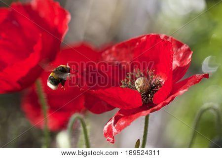 Common Honey bee flying towards a vibrant Red Poppy