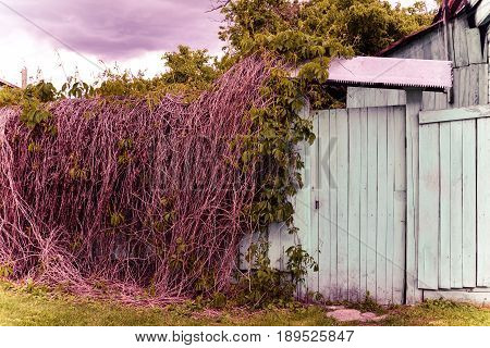 Old wicket and ivy. Fence, door, grass, trees branches. Thunderclouds, cloudy sky. Summer, summertime, June. Lilac colors. Artistic photo for posters, prints, interior, design, decor, covers, cards.