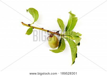 Peach. Unripe Fruit On A Twig Isolated On White Background