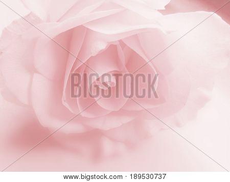Rose background soft pink
