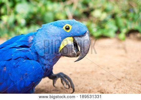 Big blue parrot - Hyacinth macaw in Prague zoo. (Anodorhynchus hyacinthinus). Summertime outdoors close-up.