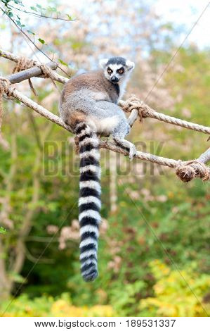 Lemur catta in Prague zoo. Ring tailed lemur sitting on rope-ladder. Summertime outdoors.