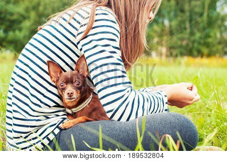 Attentive eyes of small brown toy-terrier. Girl holding dog on hands sitting on green grass of summer park. Multicolored horizontal outdoors image.