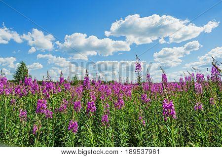 Field Growing On It Ivan Tea